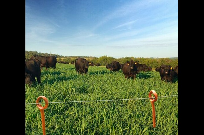Black Angus cattle grazing in tall, healthy, green grass pasture enclosed with ring top posts and poly wire.
